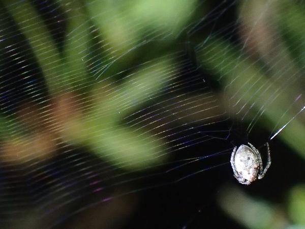 網を移動するゲホウグモ