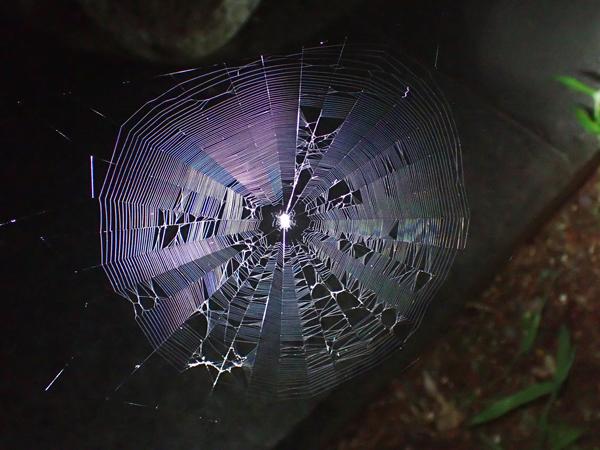 ゲホウグモの網