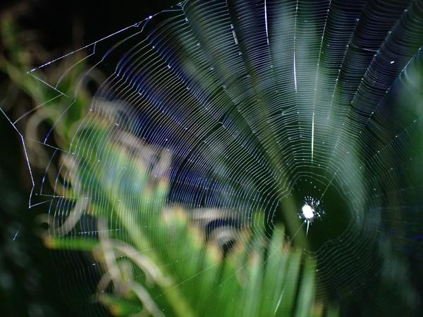 出来たばかりのゲホウグモの網