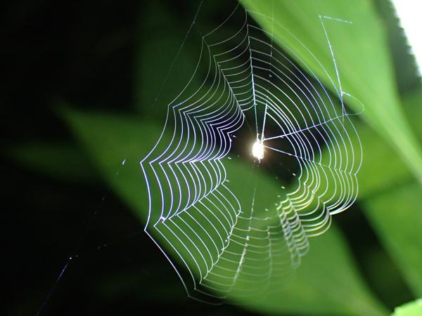 小さなゲホウグモの網