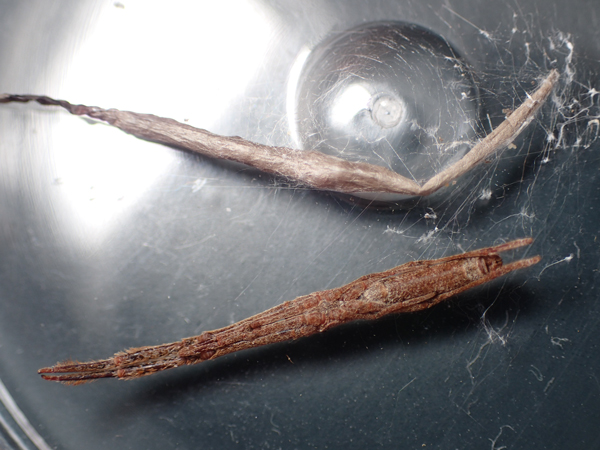 マネキグモの卵のう