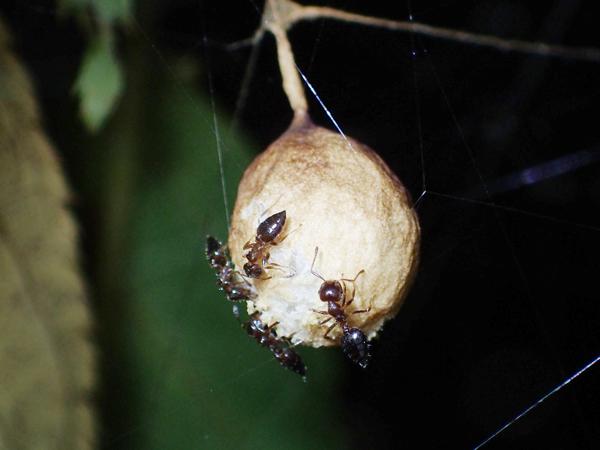 トリノフンダマシの卵のうに穴を開けるハリブトシリアゲアリ