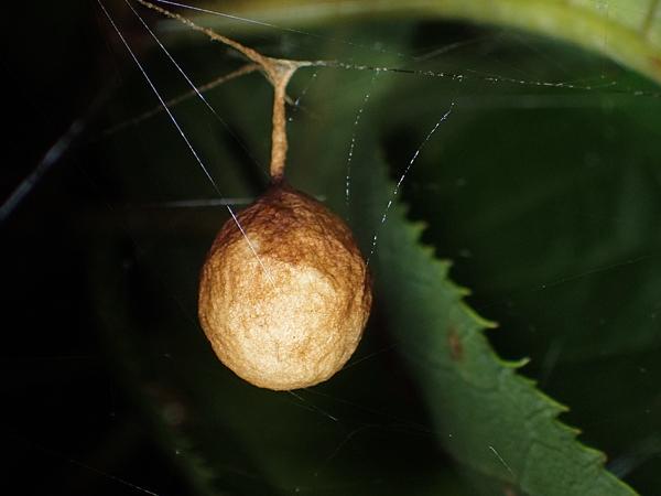 カマキリモドキの幼虫?