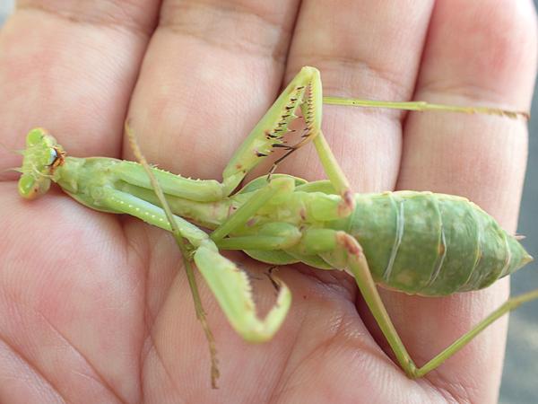ムネアカハラビロカマキリ幼虫