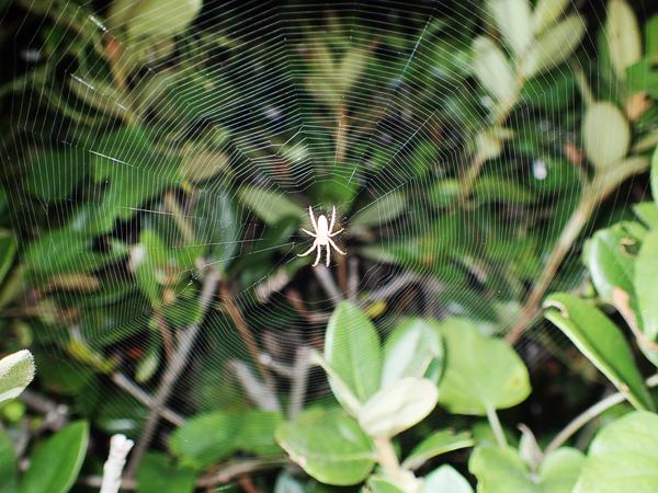 コガネグモダマシの網