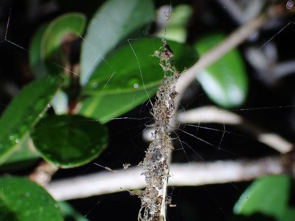 ゴミグモの網