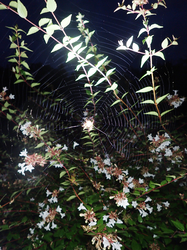 コゲチャオニグモの網