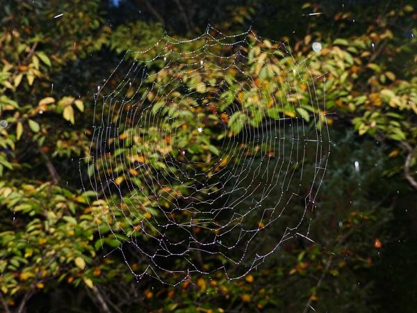 トガリオニグモの網