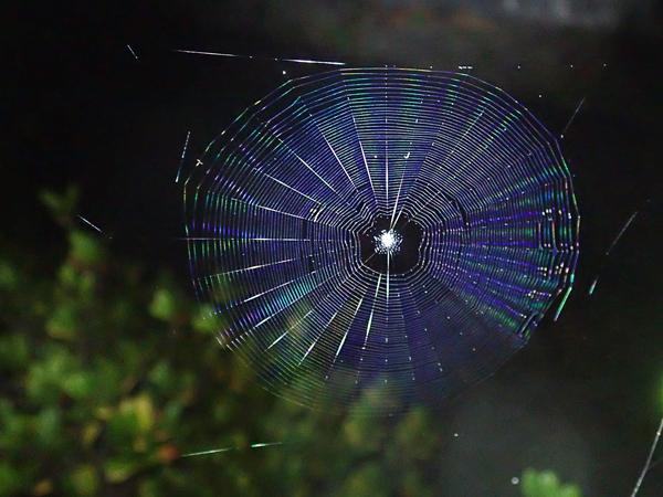 庭のゲホウグモ