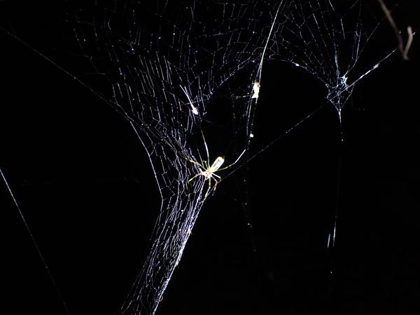 網をたたむジョロウグモ