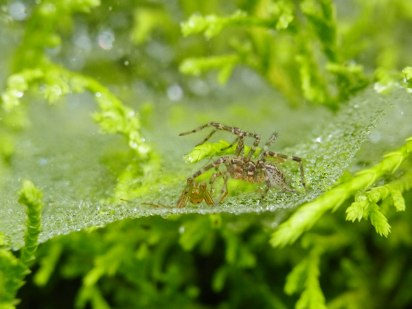獲物を襲うコクサグモ