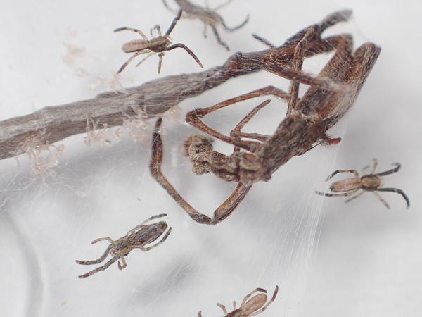 マネキグモ 母グモの死骸と幼体