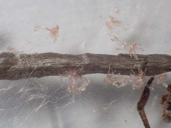 マネキグモ脱皮殻