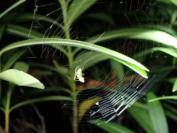 アオオニグモ