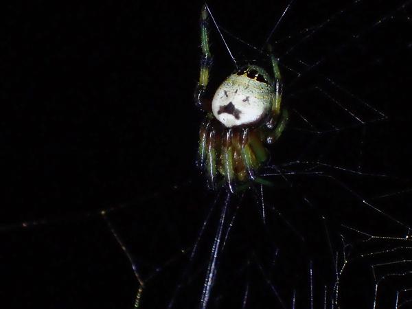 こしきにいるビジョオニグモ