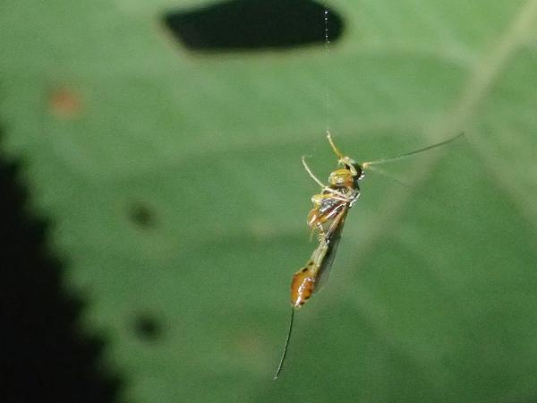 クモの糸にぶら下がる寄生蜂