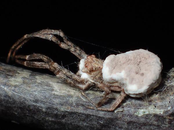 腹部にカビが生えたクモ