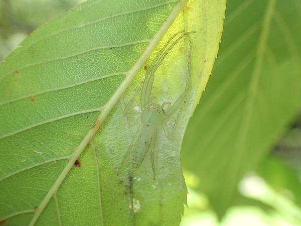 卵のうを守るワカバグモ