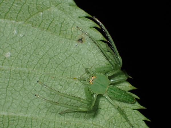 スレンダーなワカバグモ
