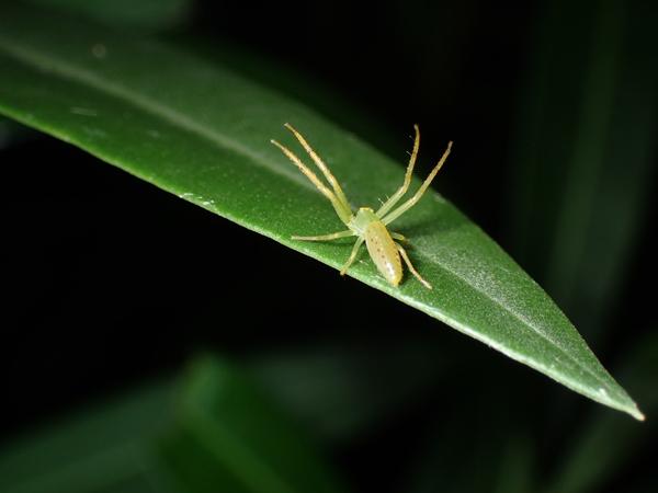 夜のワカバグモの体勢(黄色味が強い)
