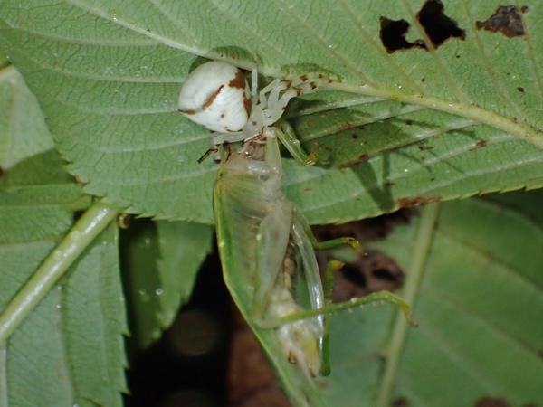 アズチグモ捕食