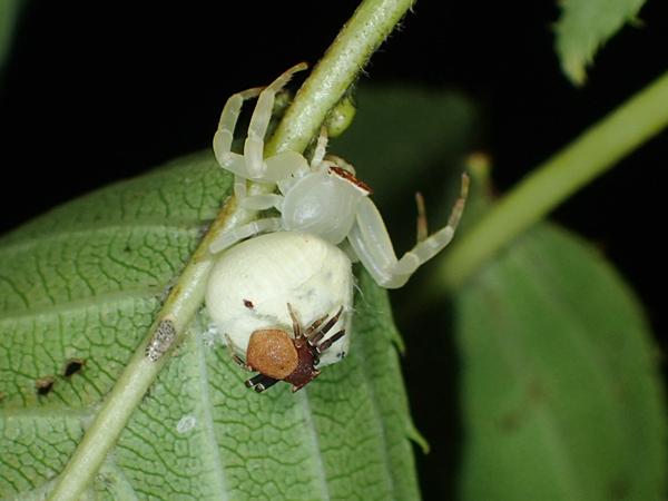 オスを背負うアズチグモのメス