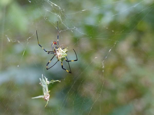 アオマツムシを捕まえるジョロウグモ