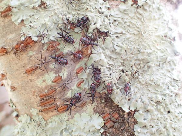 ヨコヅナサシガメ幼虫の集団