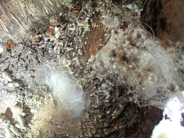 クモの卵のうと住居と小さい芋虫