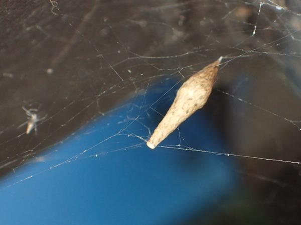 出嚢後のヤリグモの卵のう