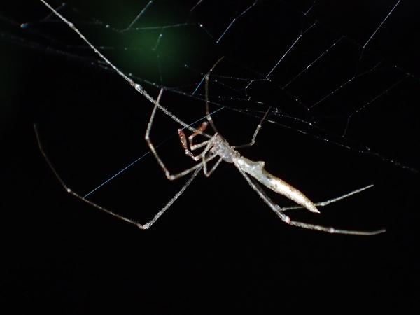 ジョロウグモの網を歩くヤリグモsp