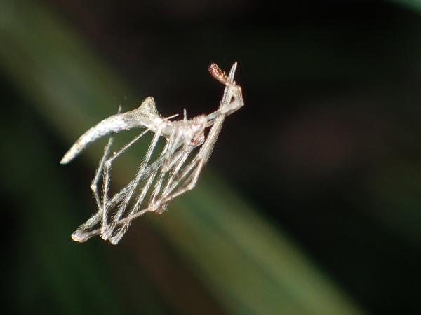 枝先にぶら下がるヤリグモsp