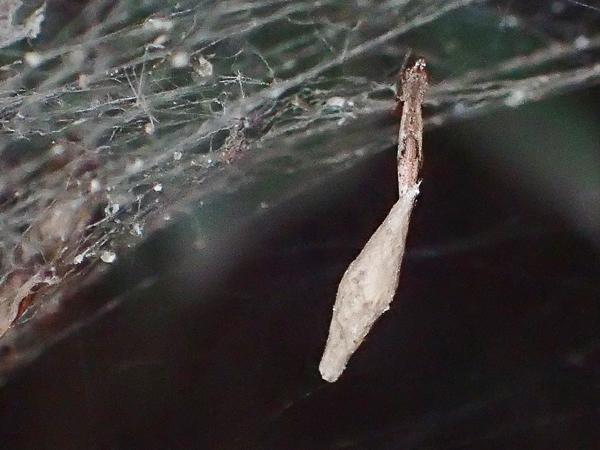 卵のうを守るヤリグモ