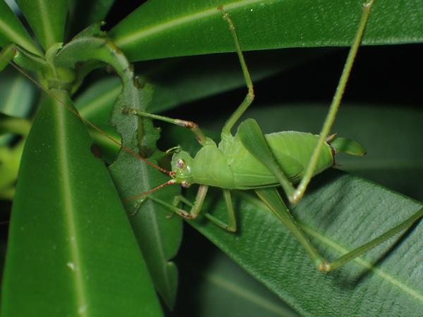 キョウチクトウを食べるサトクダマキモドキの幼虫