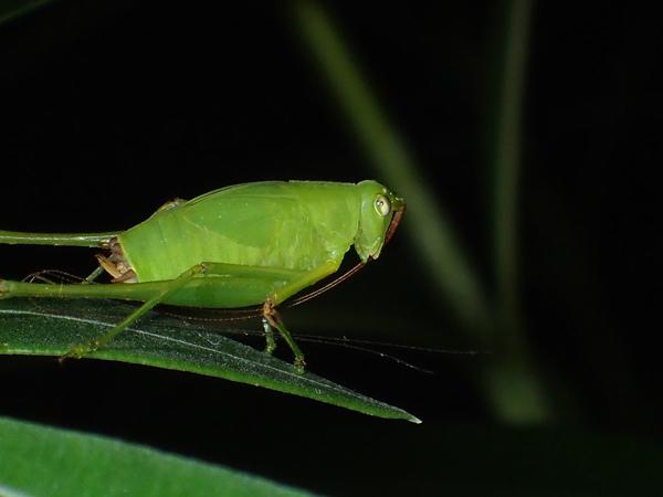 サトクダマキモドキの幼虫 グルーミング中