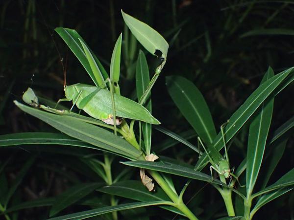 キョウチクトウを食べるサトクダマキモドキ♂♀
