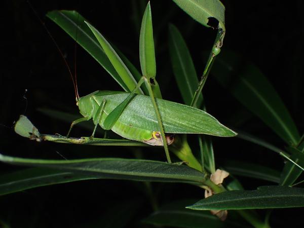 キョウチクトウを食べるサトクダマキモドキ♀
