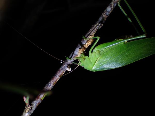 ウメの木に産卵するサトクダマキモドキ