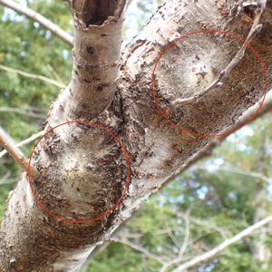 ジョロウグモの卵のう 複数