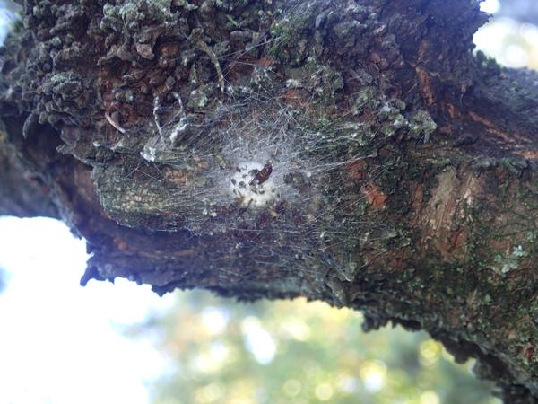 ほかのクモの卵のう