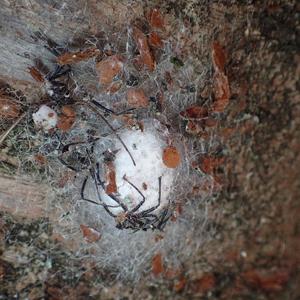 ヨコヅナサシガメの脱皮殻がついたジョロウグモの卵のう