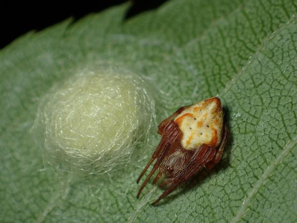 卵のうを守るカラオニグモ♀