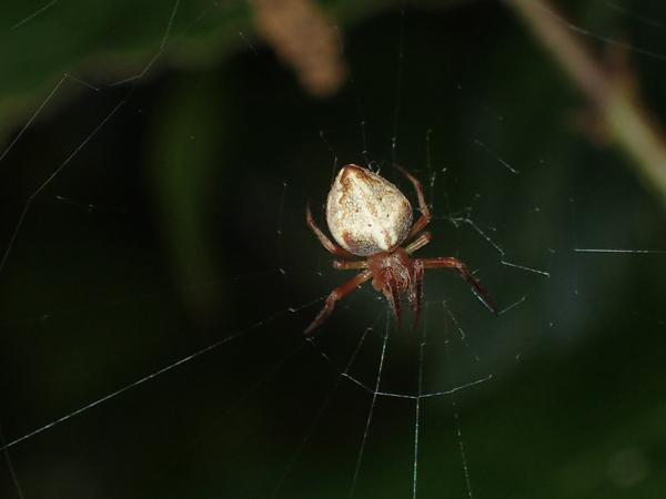 網にいるカラオニグモ♀