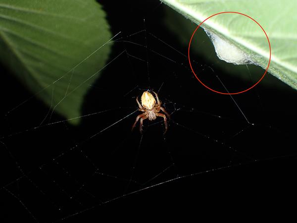 卵のうのそばに網を張るカラオニグモ♀