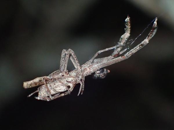 マネキグモの交接