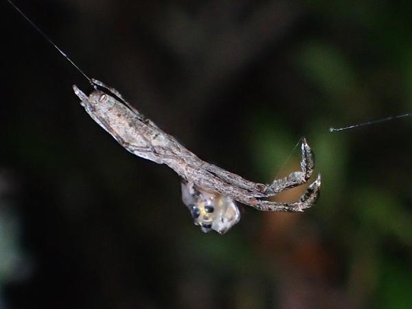 捕食中のマネキグモ♀