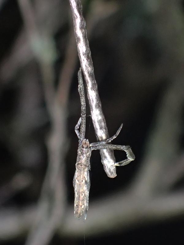 卵のうを守るマネキグモ♀