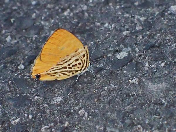 翅の折れたウラナミアカシジミ