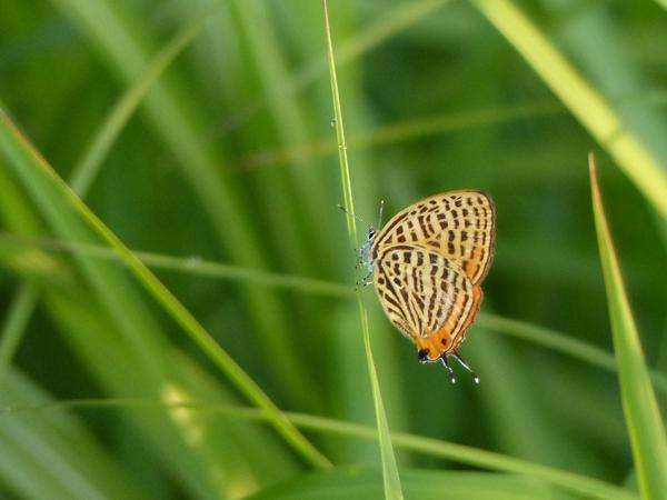 草で休むウラナミアカシジミ