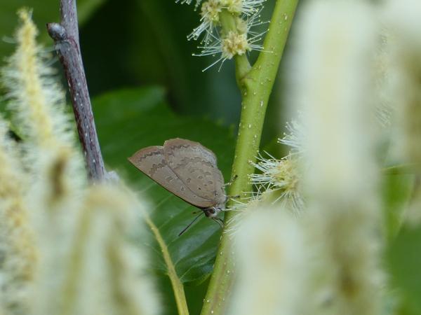 クリの花に来たムラサキシジミ
